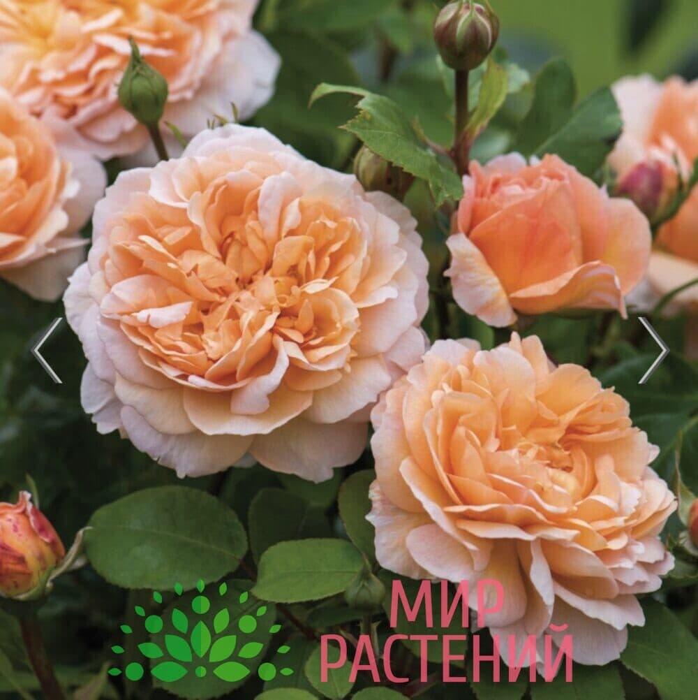 Роза кустовая The Lady Gardener. Зэ Леди Гардэнер. Дэвид Остин 3