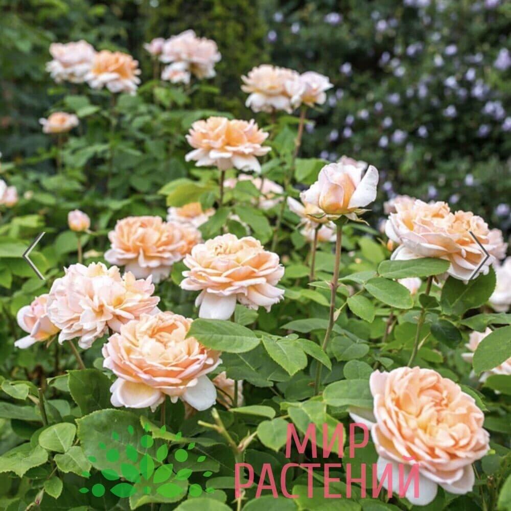 Роза кустовая The Lady Gardener. Зэ Леди Гардэнер. Дэвид Остин 5