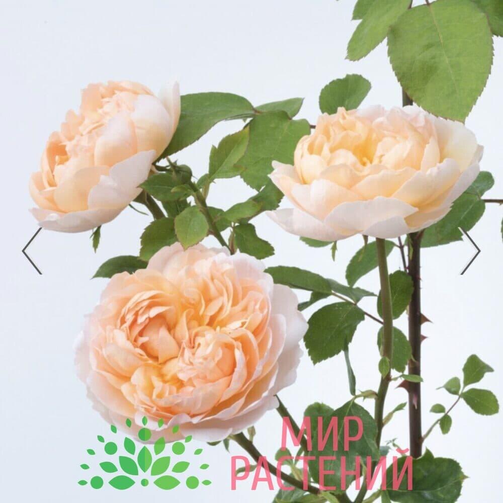Роза кустовая The Lady Gardener. Зэ Леди Гардэнер. Дэвид Остин 7