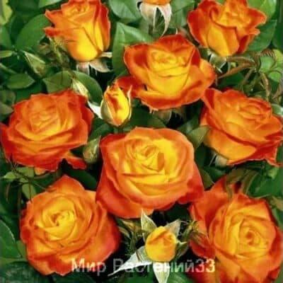 Роза флорибунда Rumba. Румба. Россия.