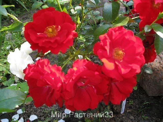 Роза почвопокровная Centro-Rose. Центро Роз. Тантау.