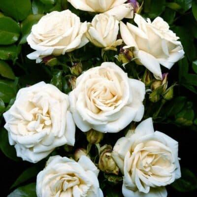 Роза флорибунда La Paloma. Ла Палома. Тантау.