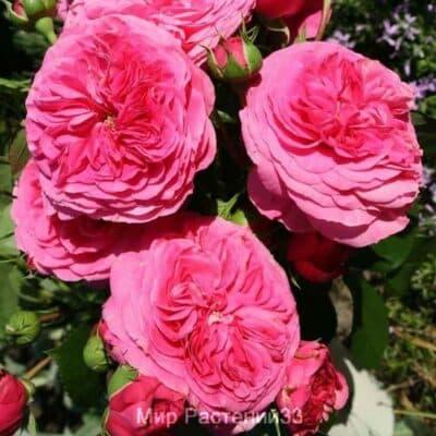 Роза флорибунда Baronesse. Баронесе. Тантау.