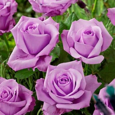Роза чайно-гибридная Nil Bleu. Голубой Нил. Россия.