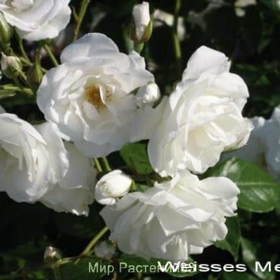 Роза флорибунда Weisses meer. Вайсес Мер. Россия.