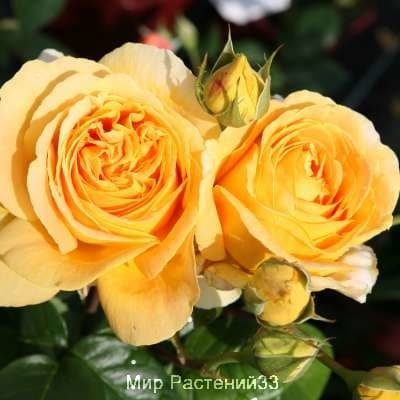 Штамбовая роза Candlelight. Кэндллайт /90 см. Тантау.