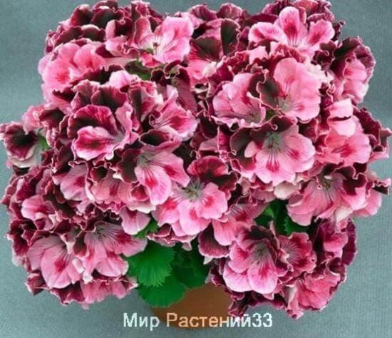 пеларгония королевская
