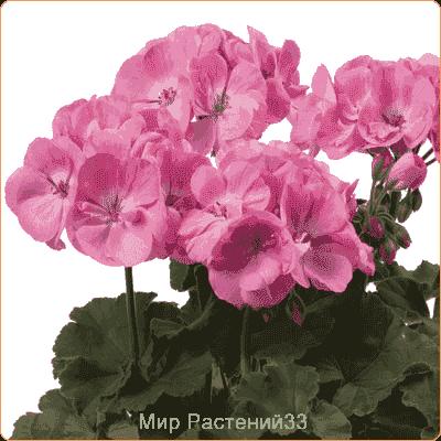 пеларгония зональная Розита