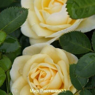 Канадская роза J.P. Connell. Джей Пи Коннэл.