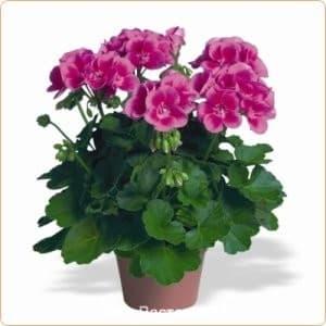 пеларгония зональная Rose