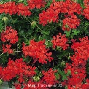 Пеларгония плющелистная Decora RED