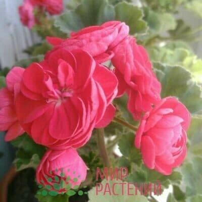 Пеларгония зональная Rosita