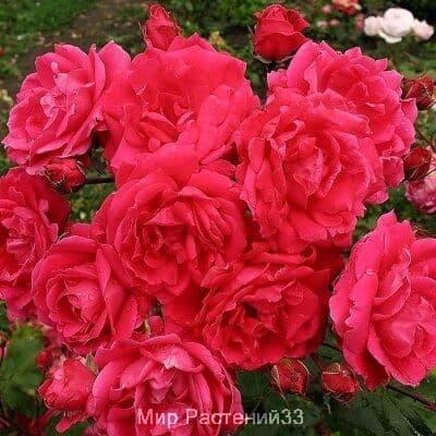 Канадская роза Alexander MacKenzie. Александр МакКензи.