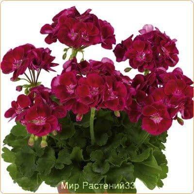 пеларгония зональная Flower Fairy® VELVET
