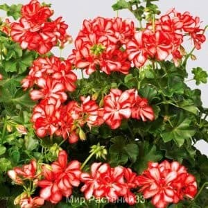 Пеларгония плющелистная Mexica RUBY