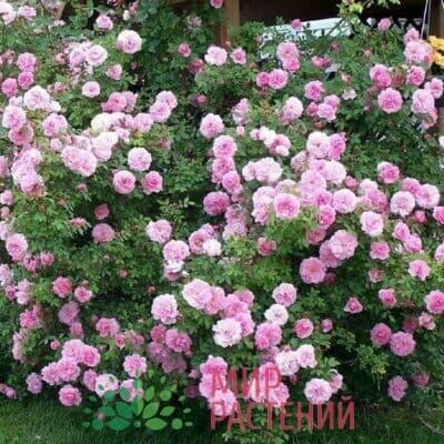 Канадская роза John Davis. Джон Дэвис.