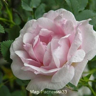 Канадская роза Suzanne. Сюзанна.