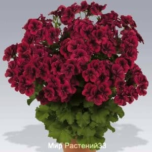пеларгония королевская Regalia DARK RED