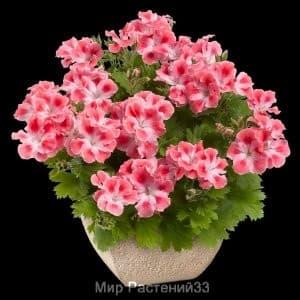 пеларгония королевская Candy Flowers® PEACH CLOUD