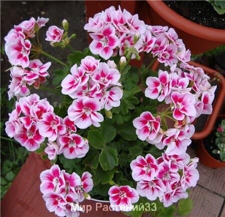 пеларгония куствая Flower Fairy WHITE SPLASH