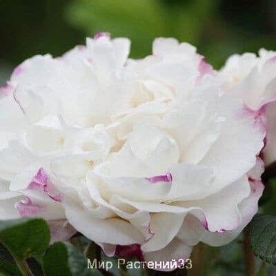 Rosa Louise Bugnet