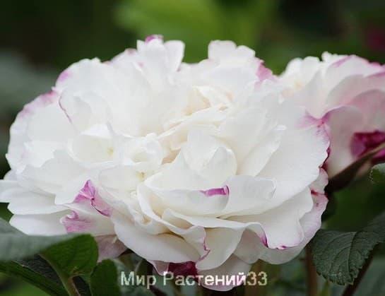 Канадская роза Louise Bugnet. Луиза Багнет.
