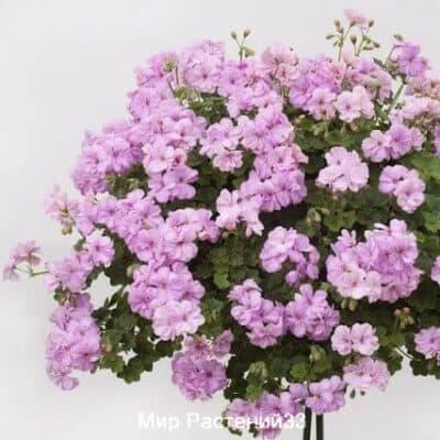 Пеларгония плющелистная Rosy
