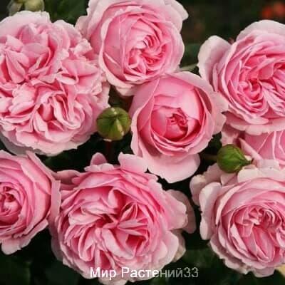 Роза кустовая Wellenspiel. Велленшпиль. Кордес.