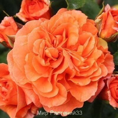 Роза флорибунда Orangerie. Оранжери. Кордес.