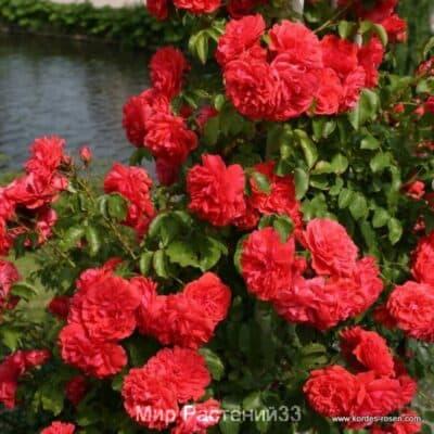 Кустовая роза Уетерсен Розенкенигин