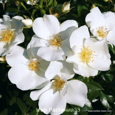 Почвопокровная роза Эскимо