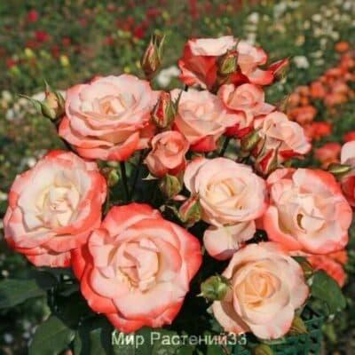 кустовая роза кордес