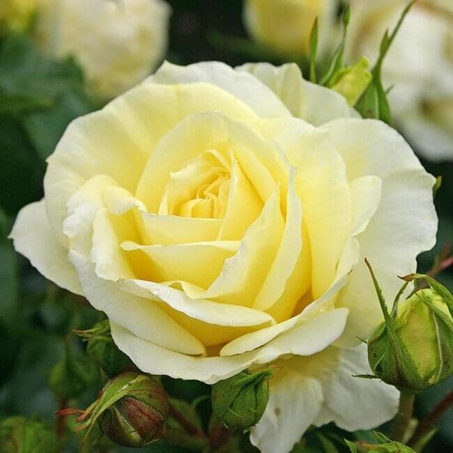 Роза чайно-гибридная Limona. Лимона. Кордес.