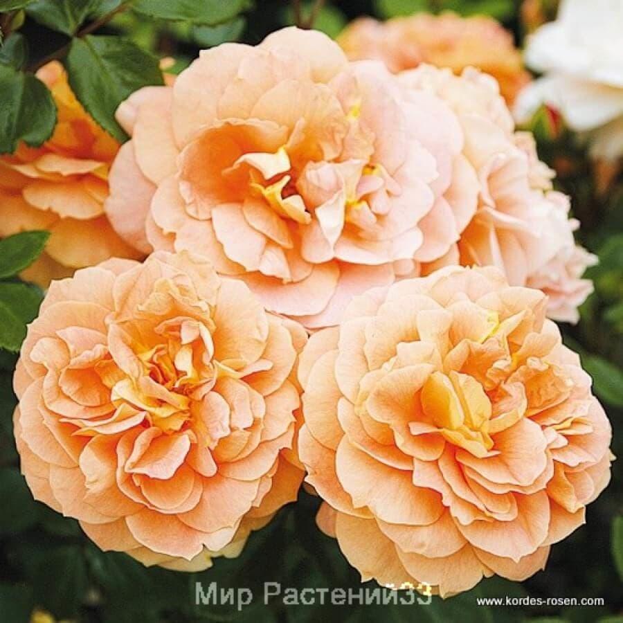 Роза флорибунда Schöne vom See.  Щене Фом Зее.  Кордес.