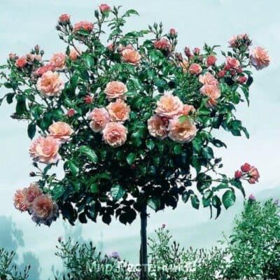 Штамбовая роза Aprikola. Априкола /90см. Кордес.