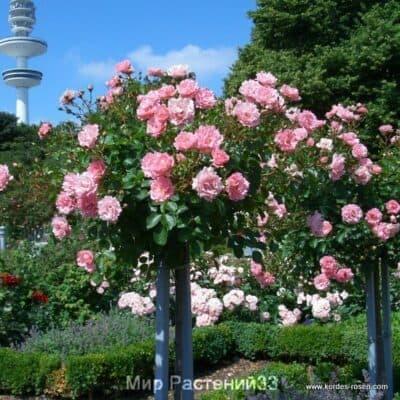 Штамбовая роза Beverly. Беверли /90 см. Кордес.