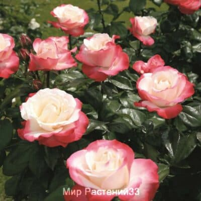 Штамбовая роза Nostalgie. Ностальджи /90 см. Кордес.