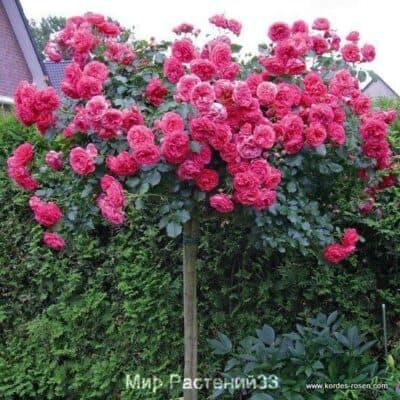 Штамбовая роза Rosarium-Uetersen. Розариум Ютерсен /90см. Кордес.