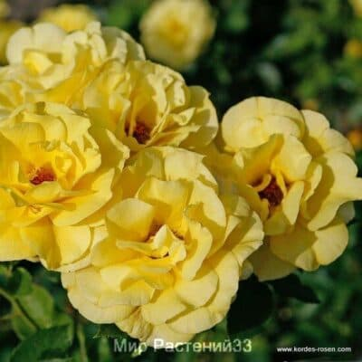 Штамбовая роза Friesia. Фрезия /90 см. Кордес.