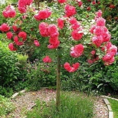 Штамбовая роза Cherry Girl. Черри Герл /90 см. Кордес.