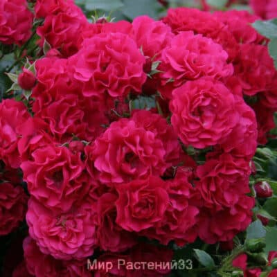 Штамбовая роза Gartnerfreude. Гартенфройде /90 см. Кордес.