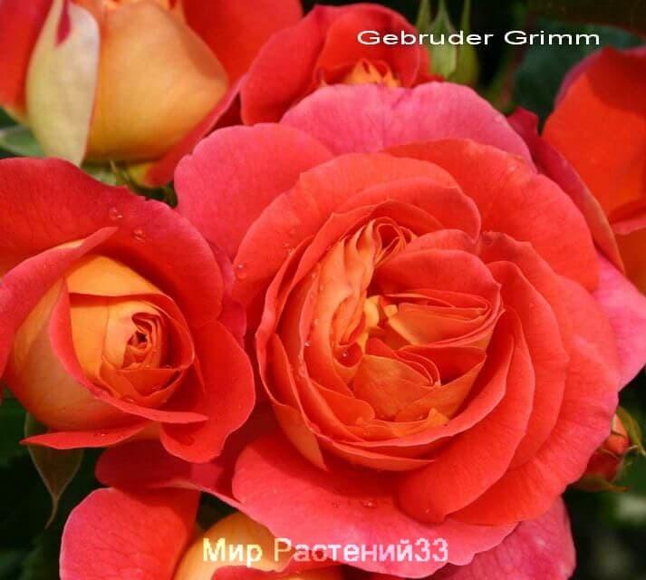 Штамбовая роза Gebruder Grimm. Гебрюдер Гримм /90 см. Кордес.