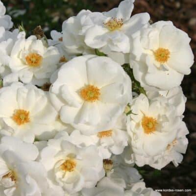 Роза почвопокровная Innocencia. Иносенция. Кордес.