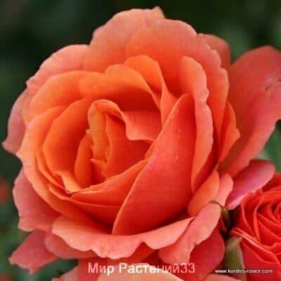 Роза кустовая Lambada. Ламбада. Кордес.