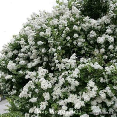 Роза парковая Multiflora. Мультифлора. Кордес.