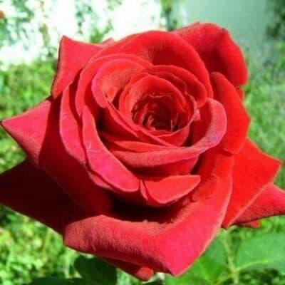 Роза чайно-гибридная Duftzauber 84. Дюфтзаубер 84. Кордес.