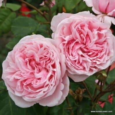Роза плетистая Kiss Me Kate. Кисс Ми Кейт. Кордес.