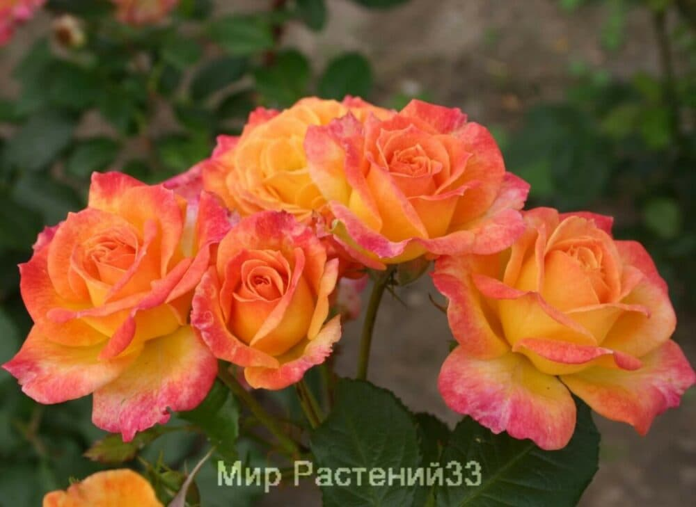 Штамбовая роза Gartenspaß. Гартеншпас /90 см. Кордес.