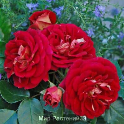 Роза флорибунда Die Sehenswerte. Ди Зеенсверте. Кордес.