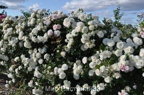 Роза плетистая Alaska. Аляска. Кордес.